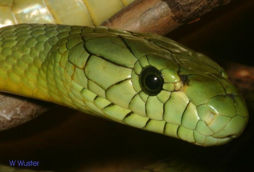mamba snake bite
