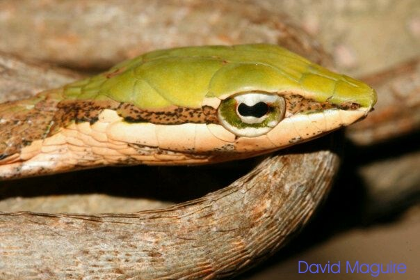 Eastern Vine Snake (Thelotornis mossambicanus) - Photo supplied by David Maguire