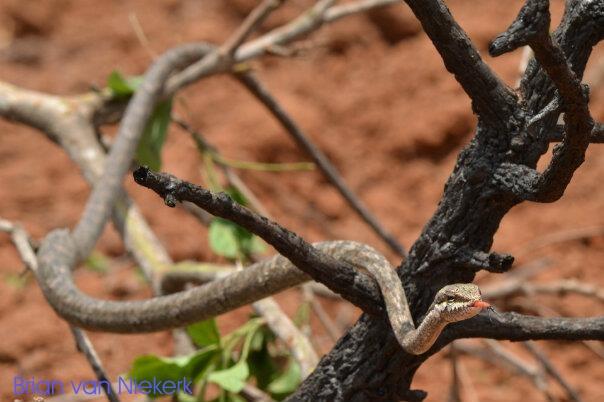 Vine Snake - Photo supplied by Brian van Niekerk