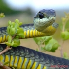 thumb-Boomslang-cape male _Axel Barlow