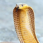 thumb-Cape cobra Justin Collett