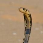 thumb-Forest cobra Brian