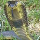 thumb-Snouted cobra Gauteng