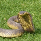 thumb-Snouted cobra